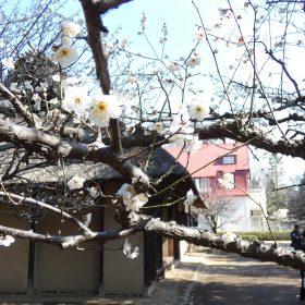 梅の花の開花を迎えた、たてもの園