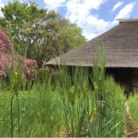「梅や桜の季節を過ぎ、麦青む季節を迎えつつある、たてもの園」